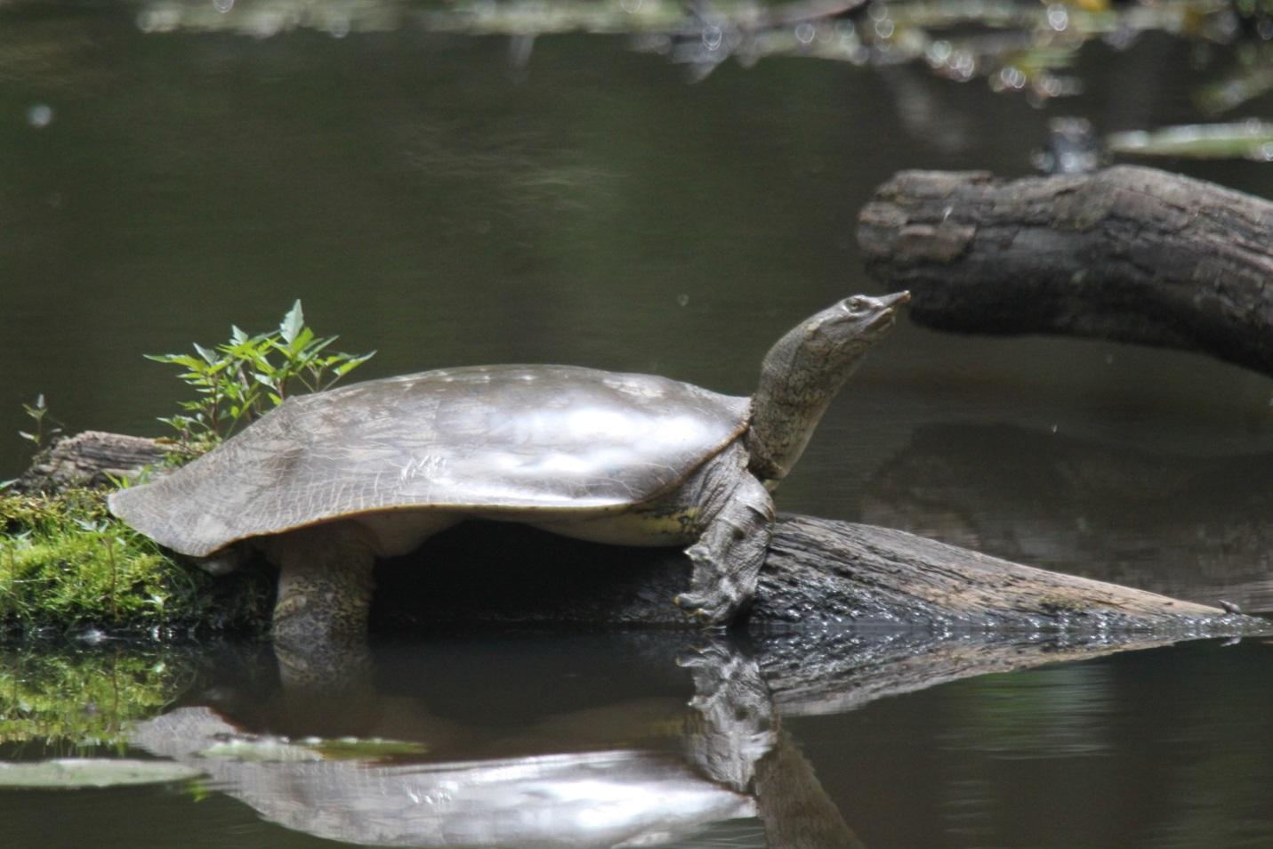 Silver Turtle