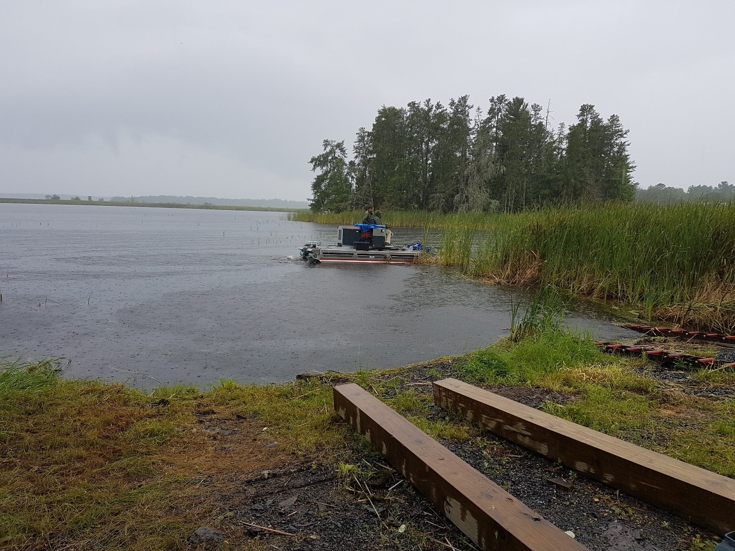 cattail harvesting rainy lake