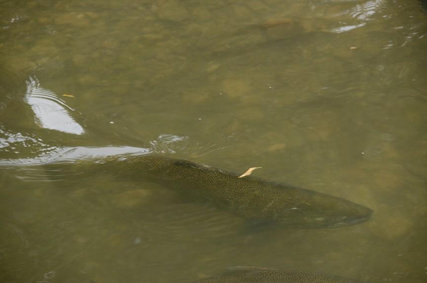 chinook salmon lake ontario