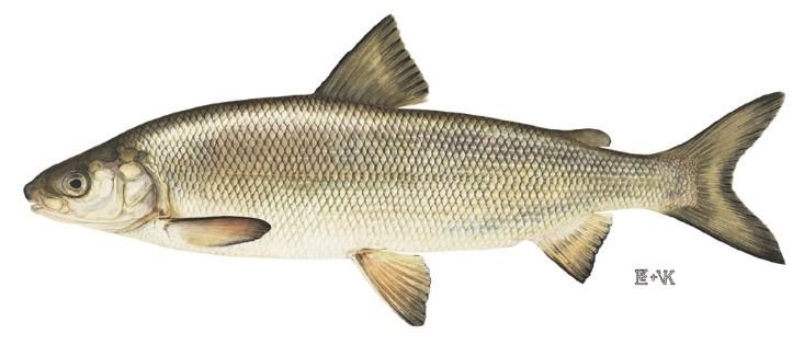 great lakes whitefish