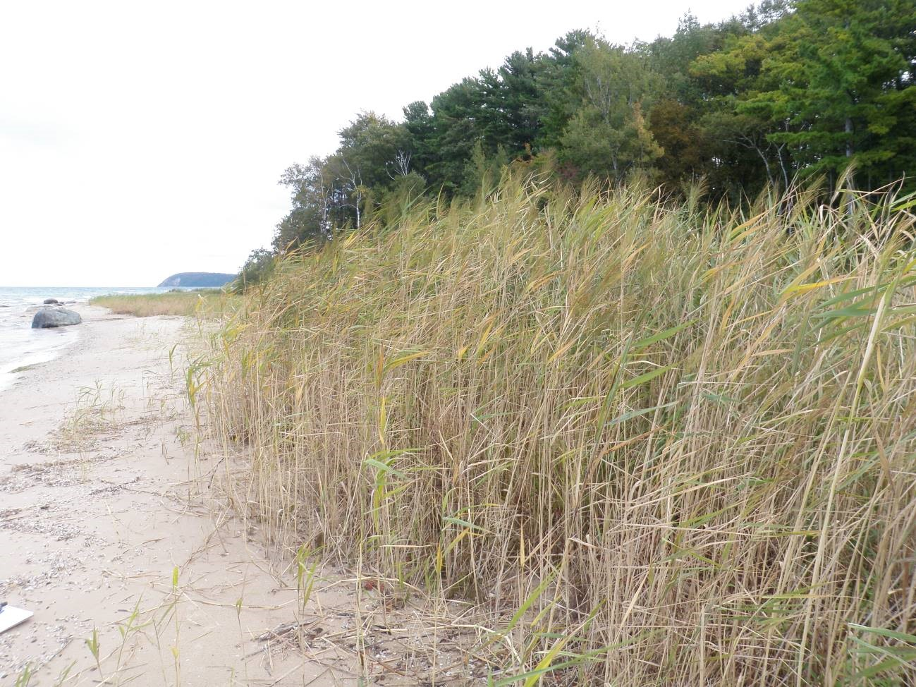 A Phragmites stand in the Lighthouse West Preserve, which was removed by the Leelanau Conservancy. Credit: Shaun Howard/Leelanau Conservancy