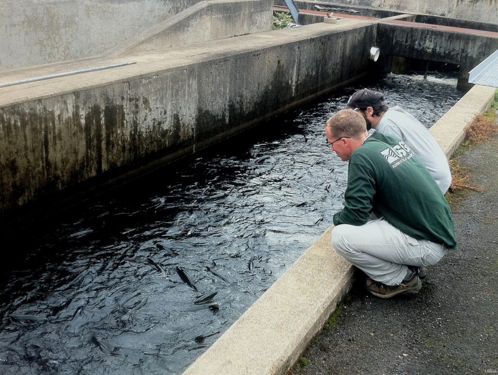 USGS scientists Ross Abbett and Rich Chiavelli watch salmon swim into troughs at the New York State Salmon River Hatchery. Credit: USGS