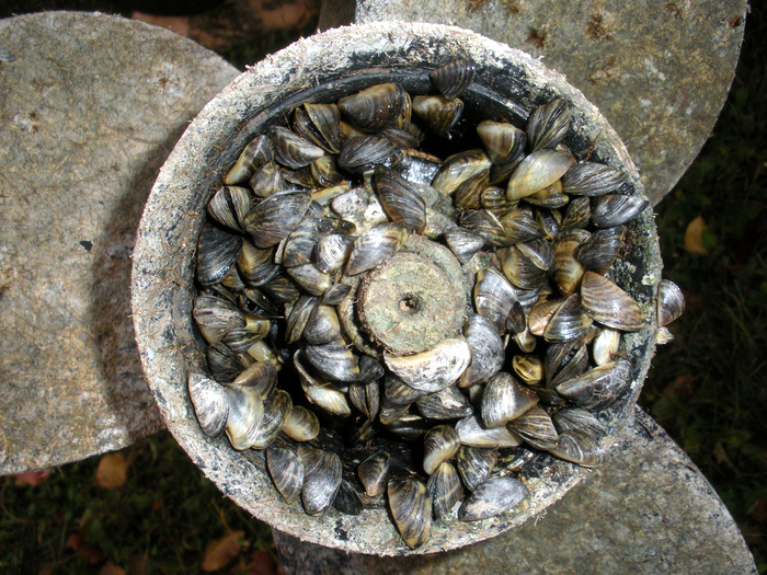 A prop covered with zebra mussels. Credit: TownePost Network.