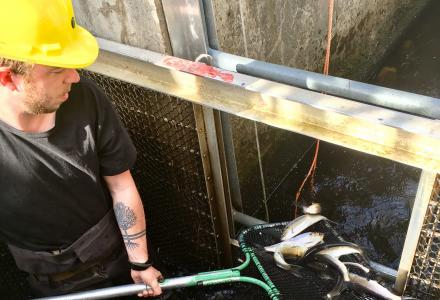 Water Matters - Fish Count at the Milltown Dam