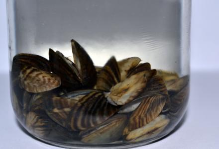Zebra mussels in a container
