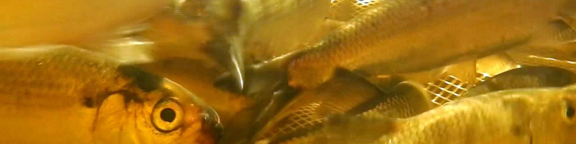 Water Matters - Inside an alewives swim trap on the St. Croix River