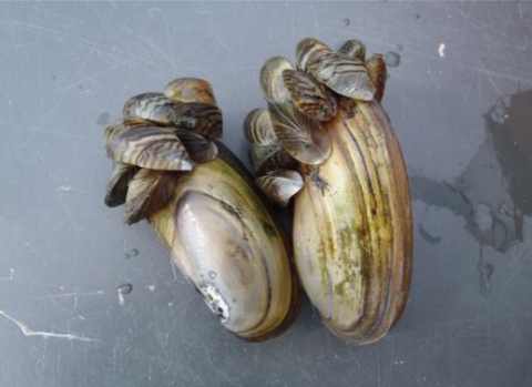 mussels clinging