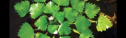 European water chestnut